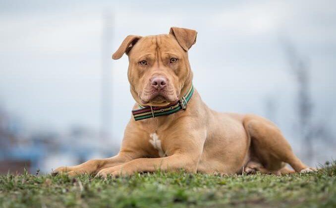 L'adoption d'un règlement sur les chiens dangereux